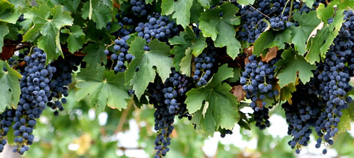 """A picture of """"red"""" (actually blue) grapes on a green vine."""